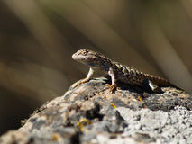 Lizard on a Desert Rock Stock Image