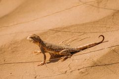 Lizard in the desert on the yellow sand royalty free stock image