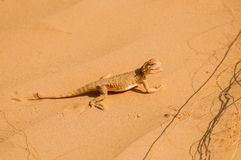 Lizard in the desert on the yellow sand stock photo