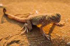 Lizard in the desert on the yellow sand royalty free stock images