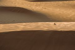 Lizard in the desert on the yellow sand stock photos