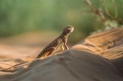 Lizard in the desert on the yellow sand royalty free stock photos