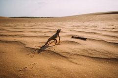 Lizard in the desert on the yellow sand stock image