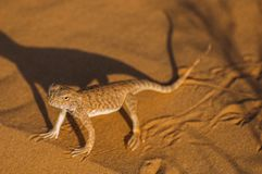Lizard in the desert on yellow sand. royalty free stock photography