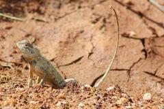 Lizard on a desertic ground Sri Lanka Royalty Free Stock Images