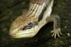 Lizard detail Royalty Free Stock Image