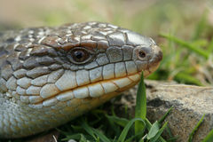 Lizard Details. A closeup view of a blue tongue lizard Stock Image