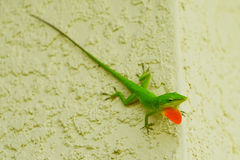 Lizard with dewlap. Green Anole Lizard with a pink dewlap on a wall Royalty Free Stock Photo