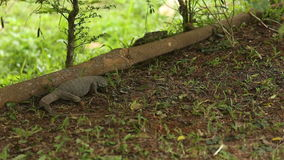 Lizard digs the ground and eats insects in the grass leaves stock video