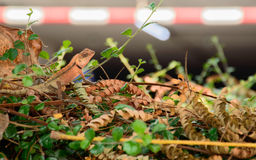 Lizard Diguises In A Bush Stock Image
