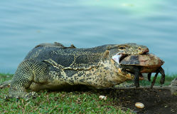 Lizard At Dinner. Lizard devouring a turtle in Bangkok Stock Photography