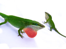 Lizard displaying red throat Royalty Free Stock Photos