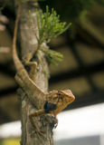 Lizard down tree. A changeable tree lizard descending down at tree Stock Image