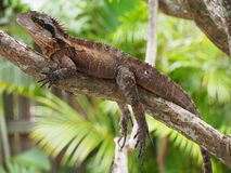 Lizard or Dragon on Branch royalty free stock image