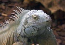 Lizard dragon reptile scaly claws Stock Photos