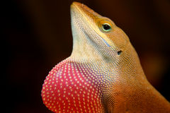 Lizard Dulap. Close up of anole lizard flashing his dulap Royalty Free Stock Photos