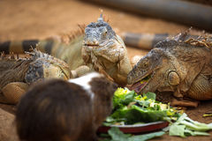 Lizard eat the leaves Stock Photos