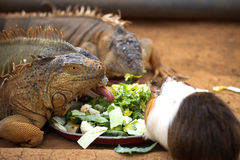 Lizard eat the leaves Royalty Free Stock Photography