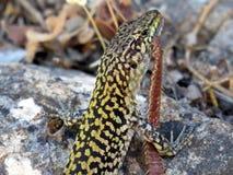 Lizard eating a centipede Stock Photography