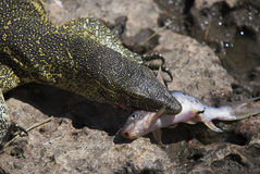 Lizard eating fish. Front end of lizard with fish in his mouth Stock Image