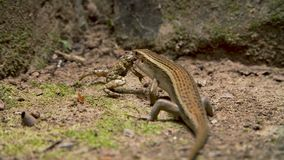 Lizard eating frog stock footage