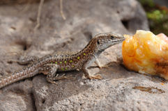 Lizard eating peach Royalty Free Stock Photo