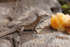 Lizard eating peach Royalty Free Stock Photo