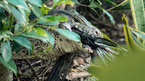 Lizard eating Royalty Free Stock Photography