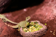 Lizard eating vegetables Stock Image
