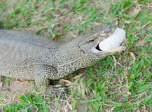 The lizard eats egg Royalty Free Stock Image