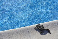 Lizard on  pool stock photo