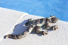 Lizard on pool royalty free stock photography