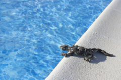 Lizard on  pool royalty free stock images
