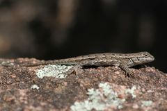 Lizard in Elephant Rocks State Park. This is a photo of a lizard taken at the Elephant Rocks State Park in Missouri while I was on vacation May 2016 Stock Image