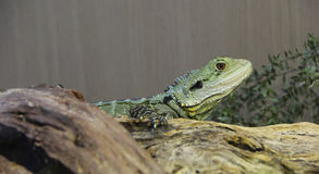 Lizard En Repose II Royalty Free Stock Photo