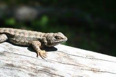 Lizard Enjoying The för västra staket varm sol fotografering för bildbyråer