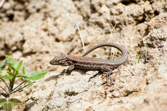 A lizard enjoying the sun on a rock in Tenerife, Spain stock image