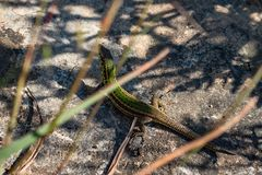 Lizard in nature Gozo Malta royalty free stock image