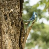 Blue Lizard on a tree royalty free stock photography