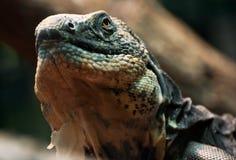 Lizard examines the vicinity Royalty Free Stock Photo