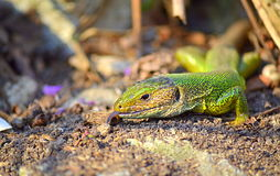 Lizard exploring the terrain. Green lizard examine the setting with a tongue.The filfola lizard or Maltese wall lizard (Podarcis filfolensis) is a species of royalty free stock photo