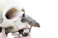 Lizard in the eye of human skull Stock Images