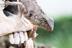 Lizard in the eye of human skull Royalty Free Stock Photos