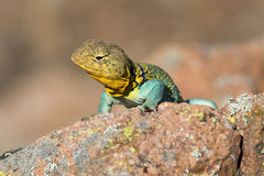 Lizard eying prey. Eastern collared lizard looking down Royalty Free Stock Image