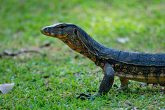Lizard Face Stock Image