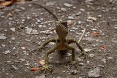 Lizard facing camera on road Royalty Free Stock Photo