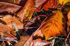 Lizard in fallen brown foliage in autumn Stock Image