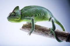 Lizard families. Chameleons belong to one of the best known lizard families royalty free stock photography