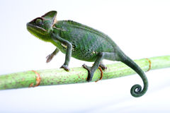 Lizard families. Chameleons belong to one of the best known lizard families stock photo