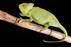 Lizard families. Chameleons belong to one of the best known lizard families royalty free stock photo
